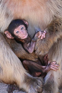 Barbary macaques (Macaca sylvanus) baby held by adult,  Rock of Gibraltar. - Barry Bland