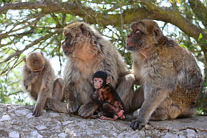 Barbary macaques (Macaca sylvanus) with baby, on the Rock of Gibraltar, July. - Barry Bland
