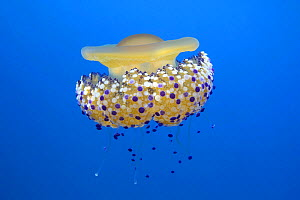 Fried egg jelly fish (Cotylorhiza tuberculata) Mediterranean Sea. - Barry Bland