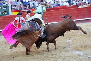 Bull flipping over horse wearing protective 'peto' padding during the first round of the bull fight,Tercio de Varasbull, Plaza de Toros, Valencia, Spain, July 2014. - Barry Bland