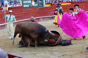 First round of bull fight, Tercio de Varas. Horse wearing protective 'peto' padding, flipped over by bull. Surrounded by Toreros. Plaza de Toros, Valencia, Spain, July 2014. - Barry Bland