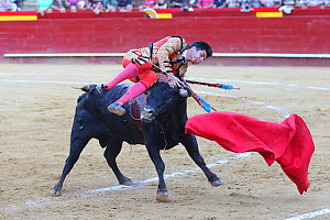 Bull fighter / torero rolling over the back of bull, Plaza de Toros, Valencia, Spain. July 2014. - Barry Bland