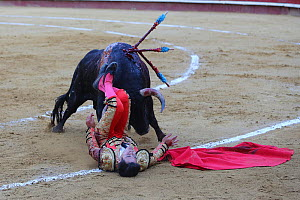 Bull fighting, torero / bullfighter on the floor after jumping over bull. Plaza de Toros, Valencia, Spain. July 2014. - Barry Bland