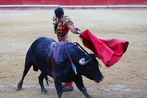 Bull fighting, torero with bull charging at cape, Plaza de Toros, Valencia, Spain. July 2014. - Barry Bland
