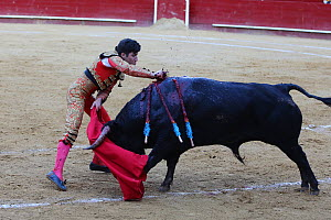 Bull fighting, torero stabbing bull with estoque sword, during the final stage of the bull fight, Tercio de Muerte. Plaza de Toros, Valencia, Spain. July 2014. - Barry Bland