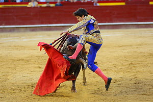 Bull fighting, torero leaping over bull. Bull has barbs / banderillas, embedded shoulder from Tercio de Banderillas round of the bullfight. Plaza de Toros, Valencia, Spain. July 2014. - Barry Bland