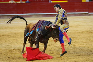 Bull fighting, torero leaping whilst holding the horns of the bull. Bull has barbs / banderillas, embedded shoulder from Tercio de Banderillas round of the bullfight. Plaza de Toros, Valencia, Spain.... - Barry Bland