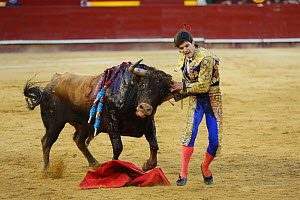 Bull fighting, torero grabbing bull by the horns. Bull has barbs / banderillas, embedded shoulder from Tercio de Banderillas round of the bullfight. Plaza de Toros, Valencia, Spain. July 2014. - Barry Bland