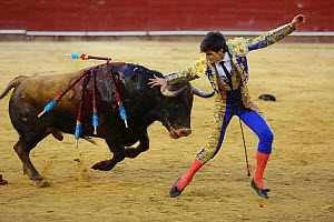 Bull fighting, bull with barbs / banderillas, embedded  shoulder from Tercio de Banderillas round of the bullfight, charging at Torero. Plaza de Toros, Valencia, Spain. July 2014. - Barry Bland