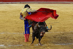 Bull fighting, bull running at cape, Plaza de Toros, Valencia, Spain. July 2014. - Barry Bland