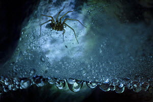 Spider (Tegenaria sp.) in dew-covered web in limestone cave, Plitvice Lakes National Park, Croatia. January. - Alex  Hyde