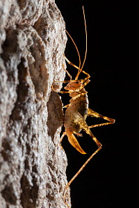 Cave Cricket female (Troglophilus cavicola) on the side of stalactite in limestone cave. Plitvice Lakes National Park, Croatia. January.  -  Alex  Hyde