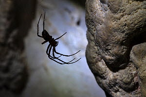 European Cave Spider (Meta menardi) in limestone cave. Plitvice Lakes National Park, Croatia. January. - Alex  Hyde