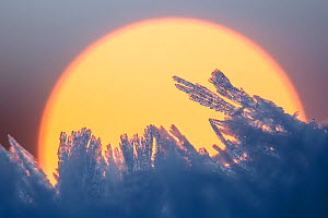 Ice crystals catching the first light of the day, Peak District National Park, Derbyshire, UK. December. - Alex  Hyde
