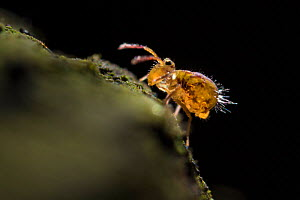 Globular springtail (Dicyrtomina saundersi) on decaying wood. Derbyshire, UK. November. - Alex  Hyde