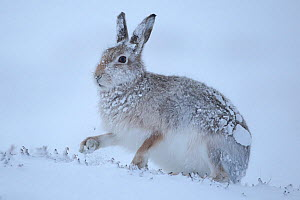Mountain hare (Lepus timidus) on snow, Cairngorms National Park, Scotland. January. - Alex  Hyde