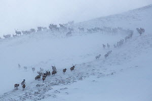 Red deer herd (Cervus elaphus) moving over mountain ridge in heavy snow. Cairngorms National Park, Scotland. January.  -  Alex  Hyde