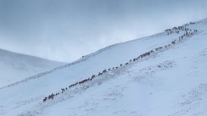 Red deer herd (Cervus elaphus) moving over mountain ridge in heavy snow. Cairngorms National Park, Scotland. January. Digitally stitched panorama. - Alex  Hyde