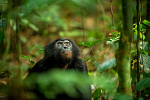 Male Bonobo (Pan paniscus) looking up, Max Planck research site LuiKotale in Salonga National Park, Democratic Republic of Congo. - Theo Webb
