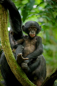 Bonobo (Pan paniscus) baby sitting next to its mother, Max Planck research site, LuiKotale, Salonga National Park, Democratic Republic of Congo.  -  Theo Webb