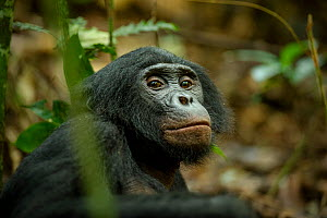 Male Bonobo (Pan paniscus) resting on the ground, Max Planck research site, LuiKotale, Salonga National Park, Democratic Republic of Congo. - Theo Webb