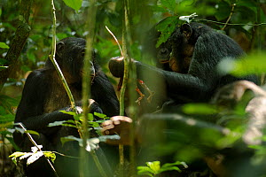 Bonobos (Pan paniscus) sharing meat (probably duiker sp) between other adults, Max Planck research site, LuiKotale, Salonga National Park, Democratic Republic of Congo. - Theo Webb