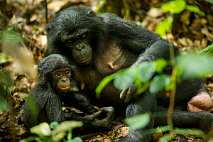 Female Bonobo (Pan paniscus) resting with her infant, Max Planck research site LuiKotale in Salonga National Park, Democratic Republic of Congo. - Theo Webb