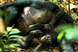 Female Bonobo (Pan paniscus) resting with her infant, Max Planck research site, LuiKotale, Salonga National Park, Democratic Republic of Congo. - Theo Webb