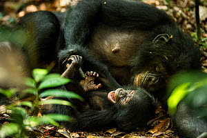 Female Bonobo (Pan paniscus) tickling her infant, Max Planck research site LuiKotale,  Salonga National Park, Democratic Republic of Congo. - Theo Webb