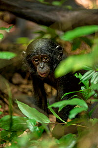 Bonobo (Pan paniscus) baby, Max Planck research site LuiKotale in Salonga National Park, Democratic Republic of Congo. - Theo Webb
