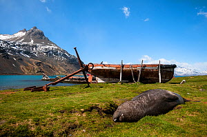 Southern elephant seal (Mirounga leonina) lying near an old whaling vessel, near Grytviken, South Georgia  -  Theo Webb
