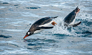 Gentoo penguins (Pygoscelis papua) leaping out the water, South Georgia Island.  -  Theo Webb
