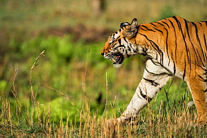 Female Bengal tiger (Panthera tigris) 'Kankuti' walking in Bandhavgarh National Park, India.  -  Theo Webb