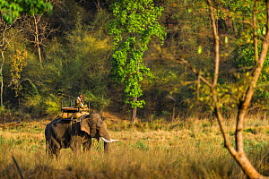 Mahout riding a domestic Indian Elephant (Elephas maximus indicus) whilst it drink from a river, Bandhavgarh National Park, India.  -  Theo Webb