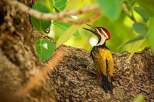 Lesser Goldenback Woodpecker (Dinopium benghalense) perching, Bandhavgarh National Park, India.  -  Theo Webb