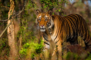 Male Bengal Tiger (Panthera tigris) , Bandhavgarh National Park, India.  -  Theo Webb