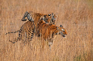Bengal Tiger (Panthera tigris) six month old cub jumping on its mother, Bandhavgarh National Park, India.  -  Theo Webb