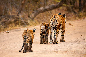 Bengal tiger (Panthera tigris) cubs following their mother, Bandhavgarh National Park, India.  -  Theo Webb