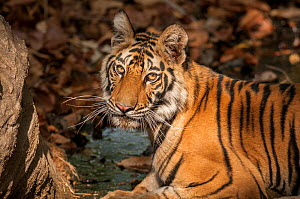 Bengal tiger (Panthera tigris) sub adult, portrait, Bandhavgarh National Park, India.  -  Theo Webb