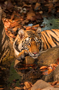 Bengal tiger (Panthera tigris) sub adult resting on paws, Bandhavgarh National Park, India.  -  Theo Webb