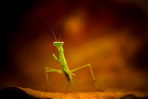 Praying mantis (Mantodea) nymph, Salonga National Park, Democratic Republic of Congo.  -  Theo Webb