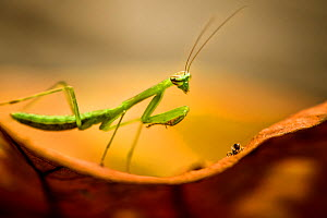 Praying mantis (Mantodea) nymph, stalking spider, Salonga National Park, Democratic Republic of Congo.  -  Theo Webb