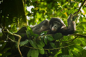 Bonobo (Pan paniscus) lying in a day nest, Max Planck research site, LuiKotale, Salonga National Park, Democratic Republic of Congo.  -  Theo Webb