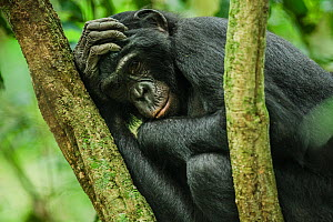 Female Bonobo (Pan paniscus) resting, Max Planck research site LuiKotale in Salonga National Park, Democratic Republic of Congo.  -  Theo Webb