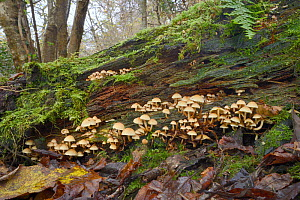 Sulphur tuft fungus (Hypholoma fasciculare) growing on rotting log, Millook Valley woods, Cornwall, UK, November. - Nick Upton