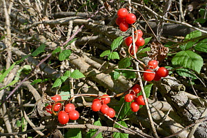 Black bryony (Dioscorea communis) with berries, GWT Lower Woods reserve, Gloucestershire, UK, October. - Nick Upton