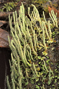 Smooth-footed powderhorn lichen (Cladonia ochrochlora) with spore forming reproductive cups, GWT Lower Woods reserve, Gloucestershire, UK, November. - Nick Upton