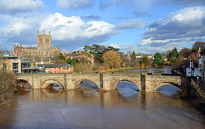 The River Wye in spate, the Medieval Old Wye Bridge and Hereford Cathedral,  England,  February 2014. - Will Watson