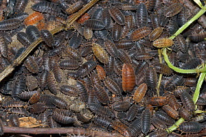 Aggregation of Common Rough Woodlice (Porcellio scaber) in various colour forms, Shropshire, England. June.  -  Will Watson