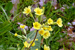 False Oxlip (Primula x polyantha) in flower, Herefordshire, England. April. - Will Watson